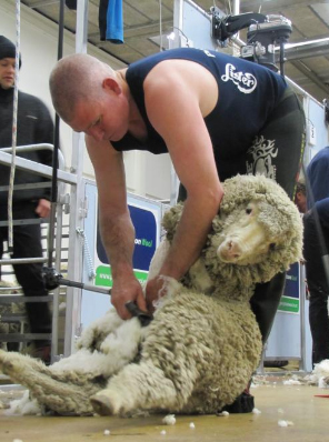 Australian shearer Damien Boyle shears his way to a seventh New Zealand Open Merino shearing championships title in eight years at the New Zealand Merino Championships in Alexandra at the weekend. Photo / Pam Jones