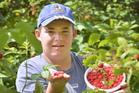Logan Dale (14) is busy picking raspberries at McArthur's Berry Farm, near Outram. Photo / Gerard O'Brien