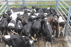These Friesian weaner bulls from the Woods Family Trust sold for $705/hd. Photo Dave Murdoch