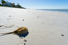 Once a year: The primeval-looking Horseshoe Crab returns to land. Photo / 123RF