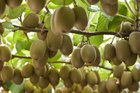 Northland appears to have plenty of kiwifruit pickers at the moment.