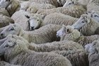 The first run-with-ram ewes appeared and sold according to their quality.