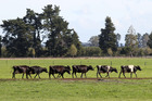 NZ milk prices are expected to remain firm in 2018/19. Photo / Duncan Brown