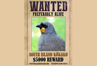 A $10,000 reward was posted for evidence the South Island kōkako. Photo / Supplied