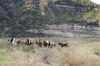 Helicopter mustering Kaimanawa horses at Waiouru Military Training Area. Photo/ Jo Mendonca