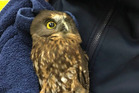 The morepork will be released tomorrow, depending on the weather. Photo / Supplied