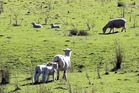 There are no cheesemakers using raw milk from sheep in NZ -- surpisingly, given that the national sheep flock is around 27 million.