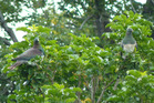 Kererū numbers are on the rise in Hawke's Bay, including at Pourerere Beach where resident Sue Nathan snapped this pair earlier this year feeding on Puriri berries.