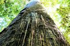 NRC has increased its funding for finding and controlling kauri dieback.