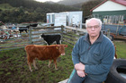 Pongaroa farmer David Vitsky upset over the castration of his bulls. Photo / Duncan Brown