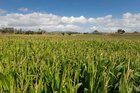 Maize production is at an all time high this season.