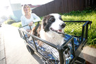 Barbara Knill with Jed in the cart he is taken for walks in. Photo/Michael Cunningham