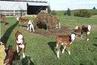 Hansen's farm calves, Whakapiro Rd, Maraekakaho with some of the almost 800 dairy cross calves.