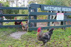 Abandoned roosters at Westmere Lake.