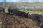 During winter it is common sense to keep cattle off stopbanks as much as possible. Photo / Supplied