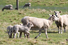 Ewes with twins at foot are making $390 as record sheep prices continue.