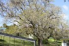 One of the Kaitaia Primary School oak trees bursting into leaf for its 184th (or thereabouts) summer.