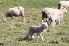 Police are calling for the aid of the public after a number of lambs were stolen from a Marlborough farm. Photo / Duncan Brown