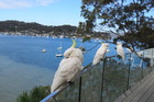 Sulphur-crested cockatoos are regular visitors to the Palm Beach house. Photo / Justine Tyerman