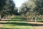 Loopline Olives grove. Photo / Supplied