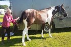 Claudia Hurley tidies up her pinto horse Telly before showing him at the Stratford A and P Show last month.