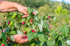 Seasonal worker numbers are on the rise. Photo / 123RF