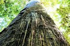Kauri dieback is killing many of New Zealand's big trees. Photo / File