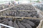 A pen of angus steers fetched $1055 a head at the Stortford Lodge sale.  Photo / File