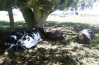 Wild weather has wreaked havoc, with the most horrific event being the death of five cows struck by lightning on a farm south of Te Awamutu. Photo / Supplied