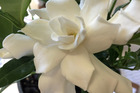 Plant of the week is the Gardenia.  Photo / Supplied