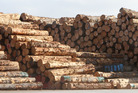 Logs stockpiled at Northport before being debarked and shipped out.