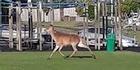 Watch: Rotorua deer on the loose