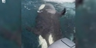 Watch: Orcas spotted in Auckland on Boxing Day