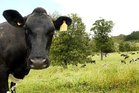 Trees offer cows great shade and shelter from the summer heat.