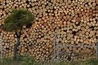 Exporters coming off record highs need to see there is diminishing demand for logs. Photo / Gerard O'Brien