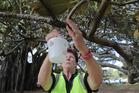 Biosecurity surveillance coordinator Kerry King working in Devonport, Auckland, after a Queensland fruit fly was found last week. Photo / Michael Craig